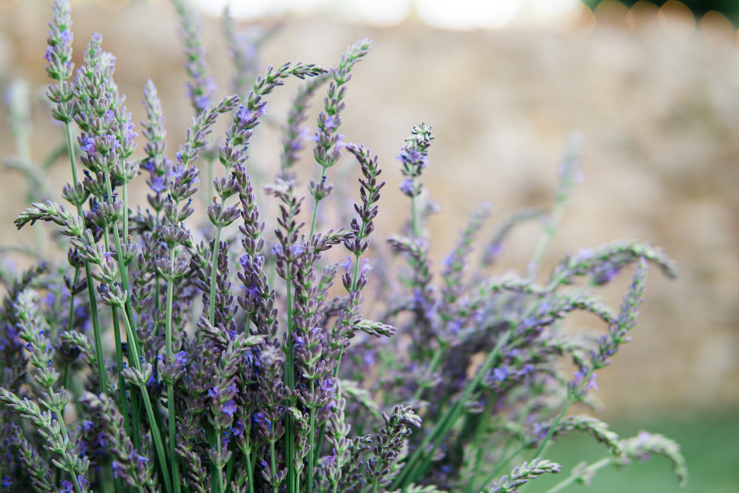 Mt Airy Lavender Workshops, Open Houses & Special Events — Mt Airy