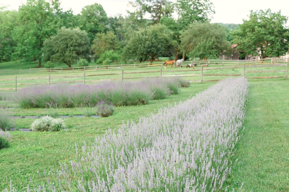 Lavender blooms in June and July
