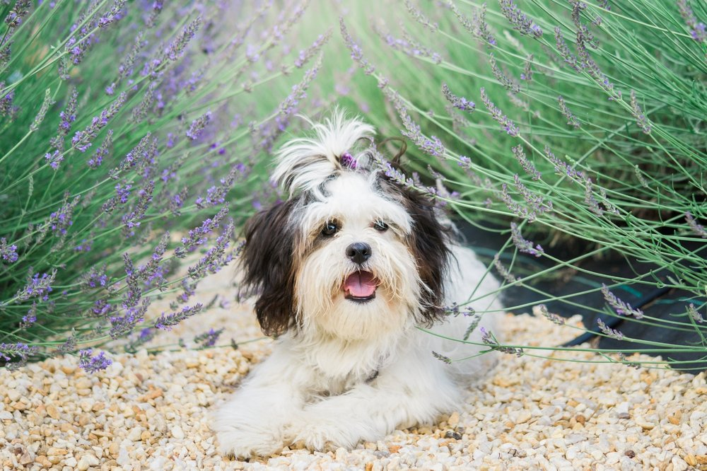 Ayla, our adorable Zuchon loves posing for photos in the lavender