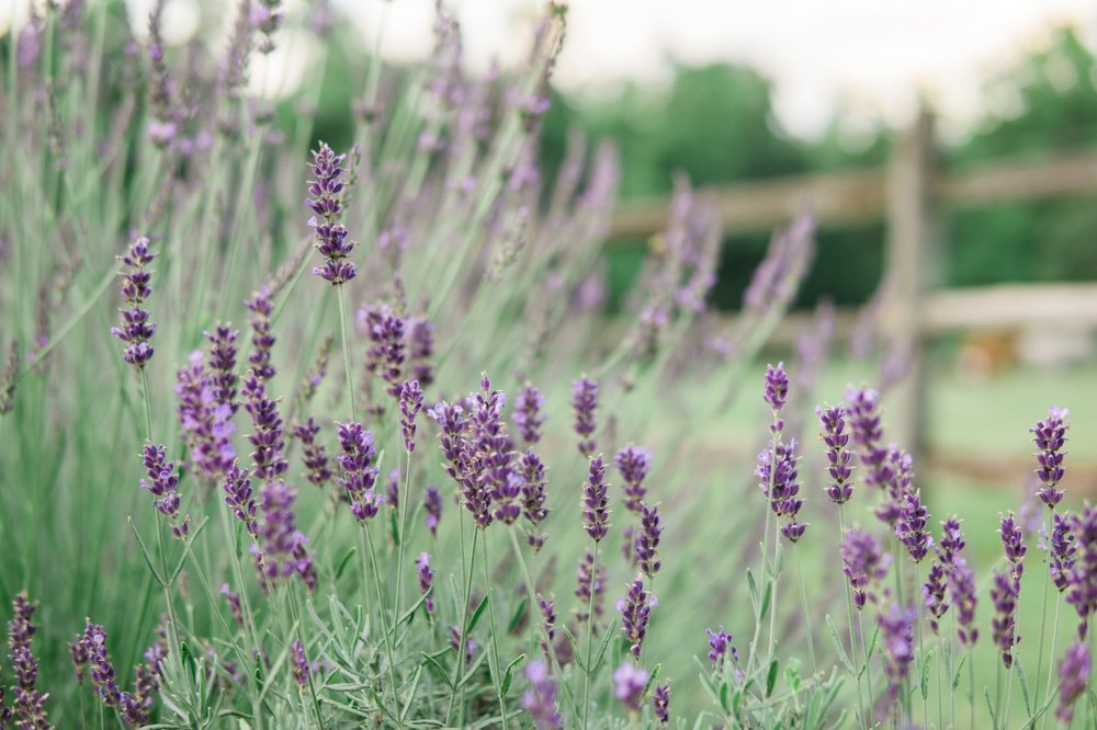 Mt Airy Lavender Farm (56 of 101).jpg