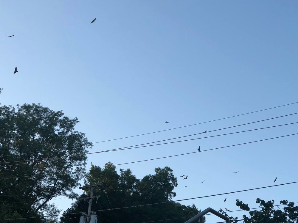 Hawks Gathering in the Indiana Sky