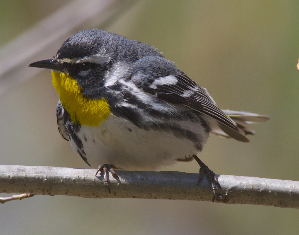 I like it under the Rt.33 bridge. Yellow-throated Warbler  (c) Scott Burnet