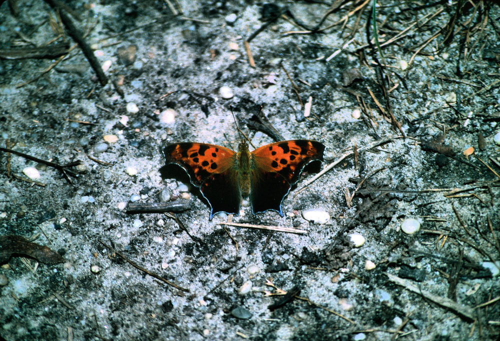 Question Mark Polygonia interrogationis. Photo by Chris Hugosson.