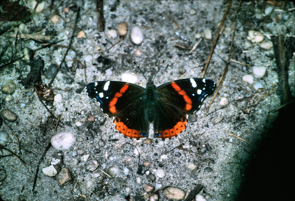 Red Admiral  Vanessa   atalanta . Photo by Chris Hugosson.
