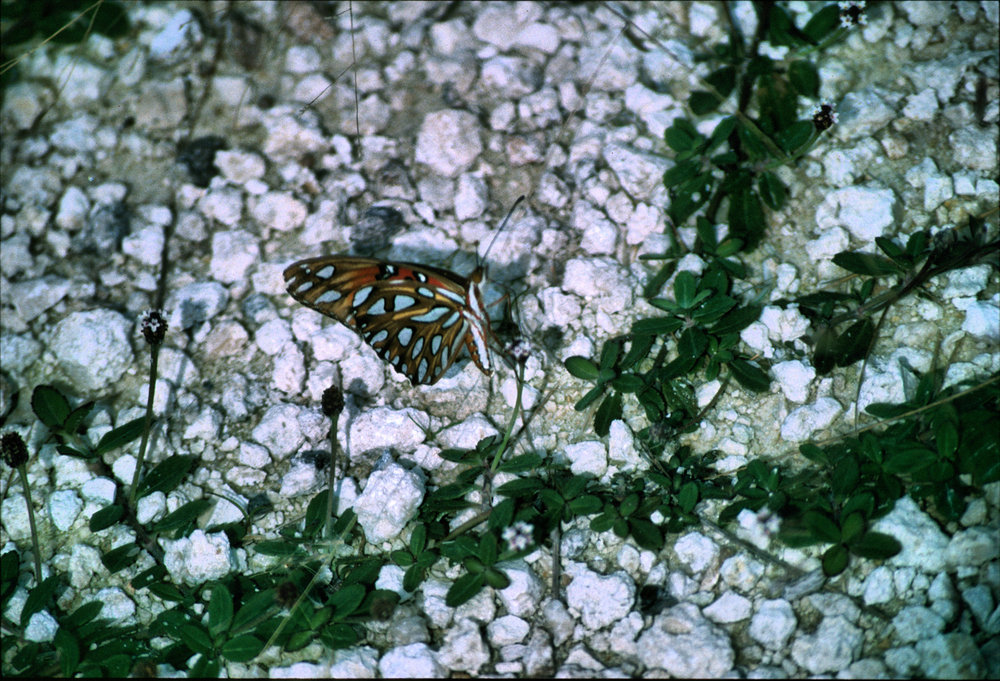 Possibly Gulf Fritillary  Agraulis   vanillae . Photo by Chris Hugosson.