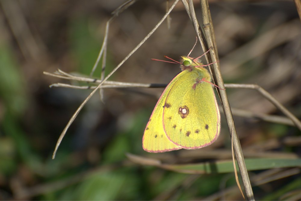 Orange Sulphur  Colias   eurytheme.   Photo by Chris Hugosson.