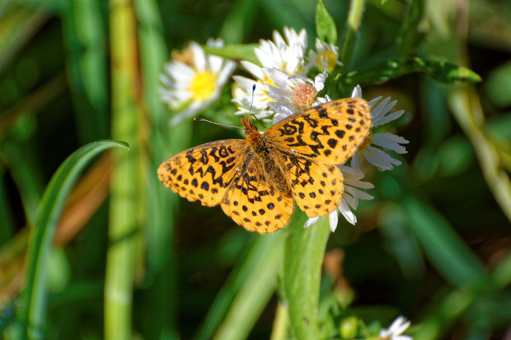 Meadow Fritillary  Boloria   bellona . Photo by Chris Hugosson.