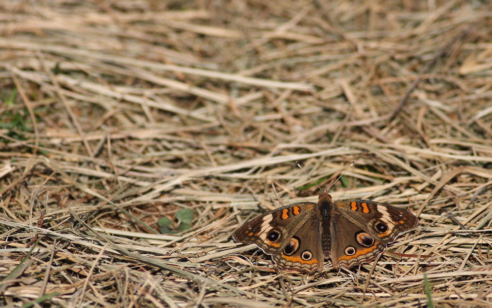 Common Buckeye  Junonia   coenia . Photo by Chris Hugosson.