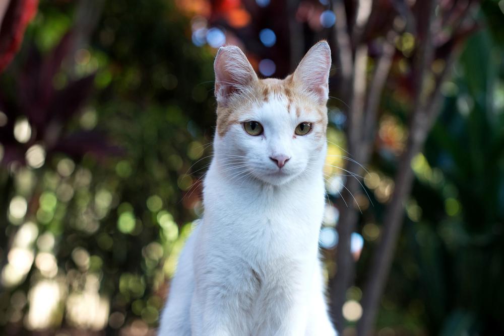 beautiful white cat portrait