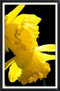 Daffodil, taken by the author, March 2008.