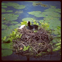 A little coot on its nest. Waiting patiently for the eggs to hatch.