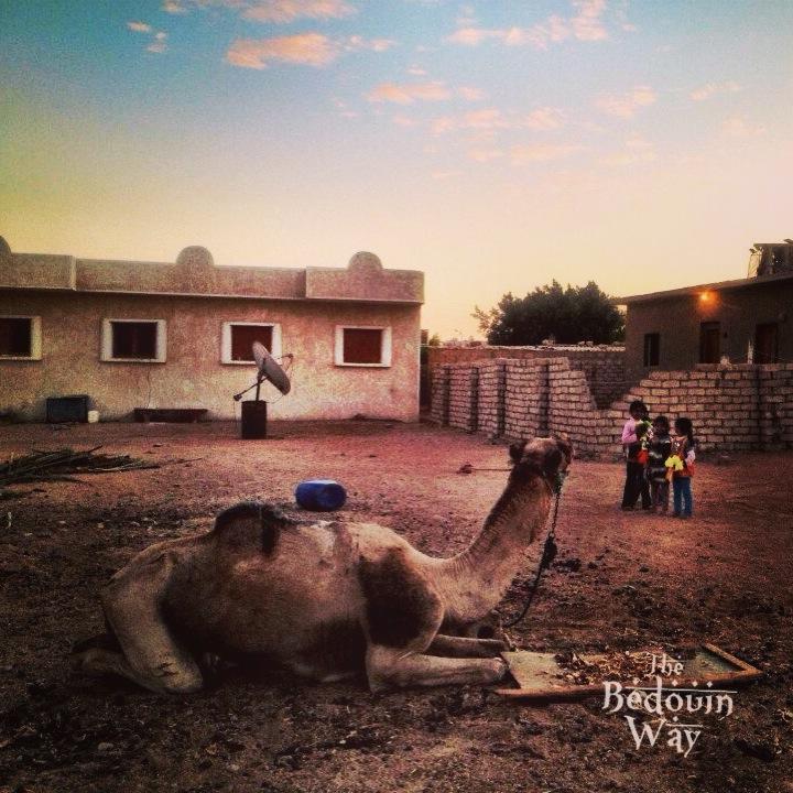 bedouin-way-livestock-camels