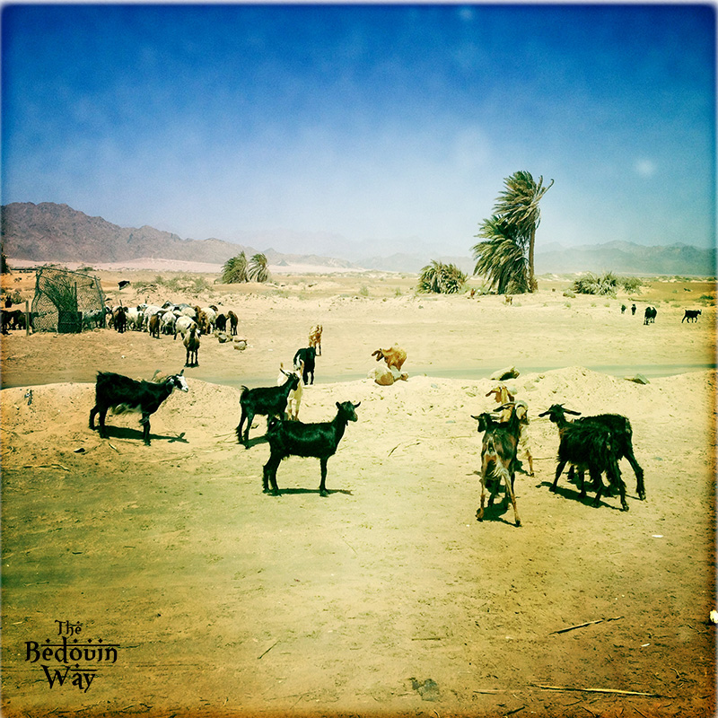 goats-in-sinai-egypt.jpg