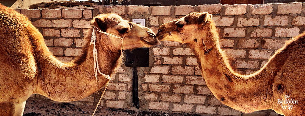 kissing-camels-bedouin-way