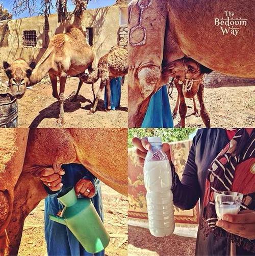 baby-camel-camel-milk-sinai