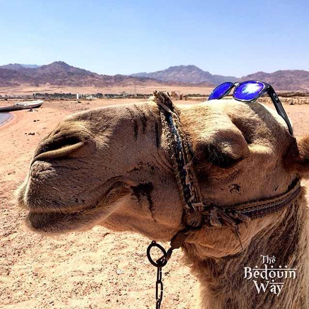 crazy-camel-sunglasses-sinai