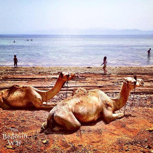 camels-on-beach-sinai