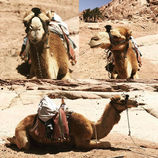 If you go to #StCatherineMonastery please say hello to #Whisky the #camel. 🐪 #stcatherine #stkatherine #stkatherinemonastery #monastery #southsinai #sinai #egypt #bedouinway #thebedouinway #bedouin #trips #adventuretravel #mytravelgram #mountsinai #trips #myegypt #egyptbyme #camelride #farming #agriculture