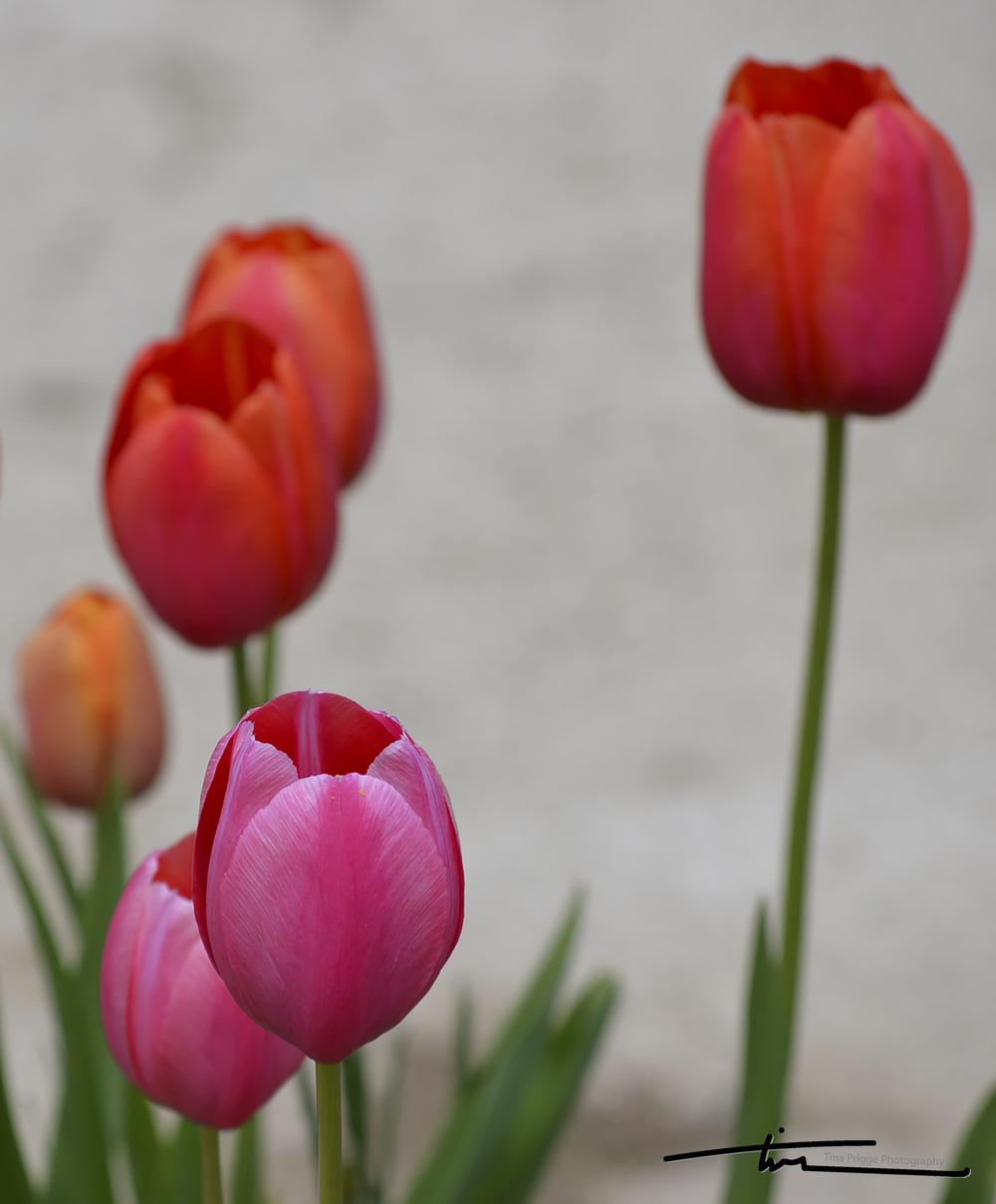 Tulips 009.jpg