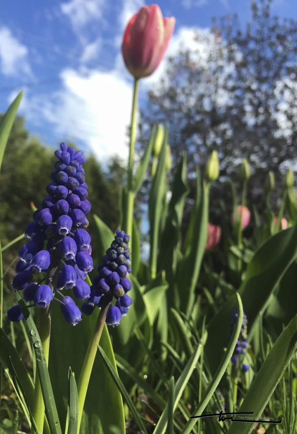 Tulip & Hyacinth 1361.jpg