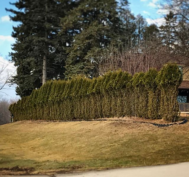 Deer-pruned cedar hedge known locally as Bonehenge