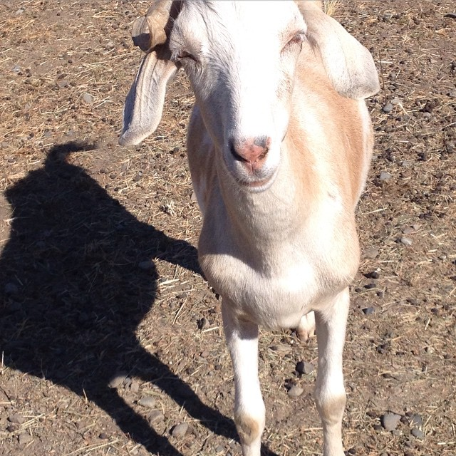 Last hours of goat week. So sad. #allriseseattle #rentaruminant #rentagoat