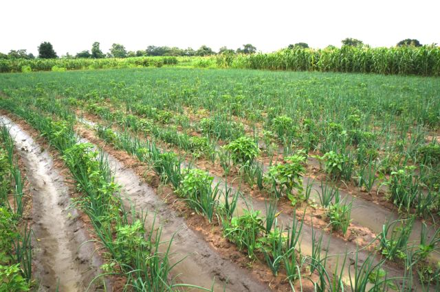 05 Irrigation Practices In West Africa Tomato Jos
