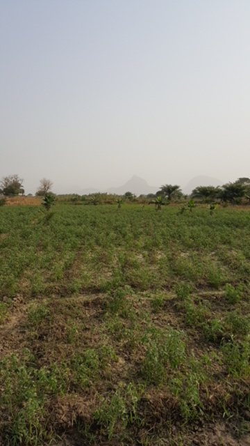 Smallholder farmer Bello's field