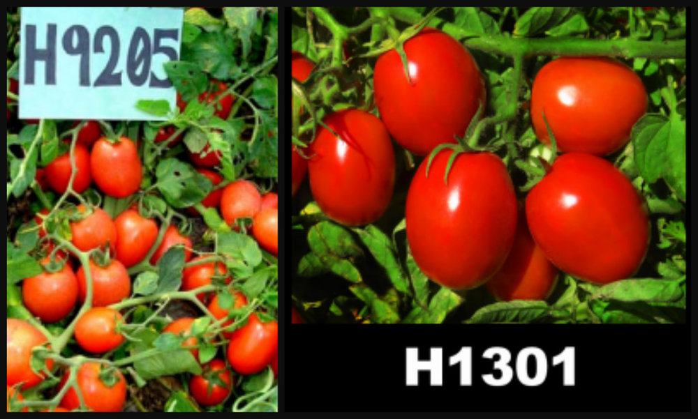 Tomato variants