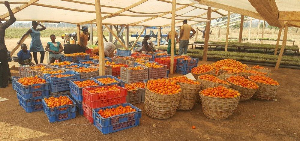Pic #2 - Tomatoes.jpg