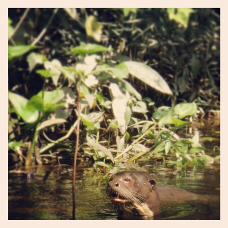 River otter in the Ecuadorian Amazon.