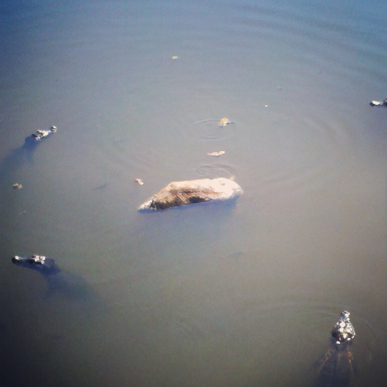 In the Brazilian Pantanal, caimins encircling a drowned capybara.