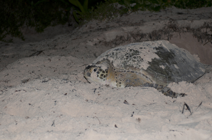 gorgeous mama, 3 feet from head to tail. this photo was taken after she laid her eggs, as she makes her way back to the sea.