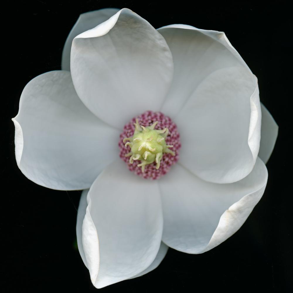 White Magnolia.jpg