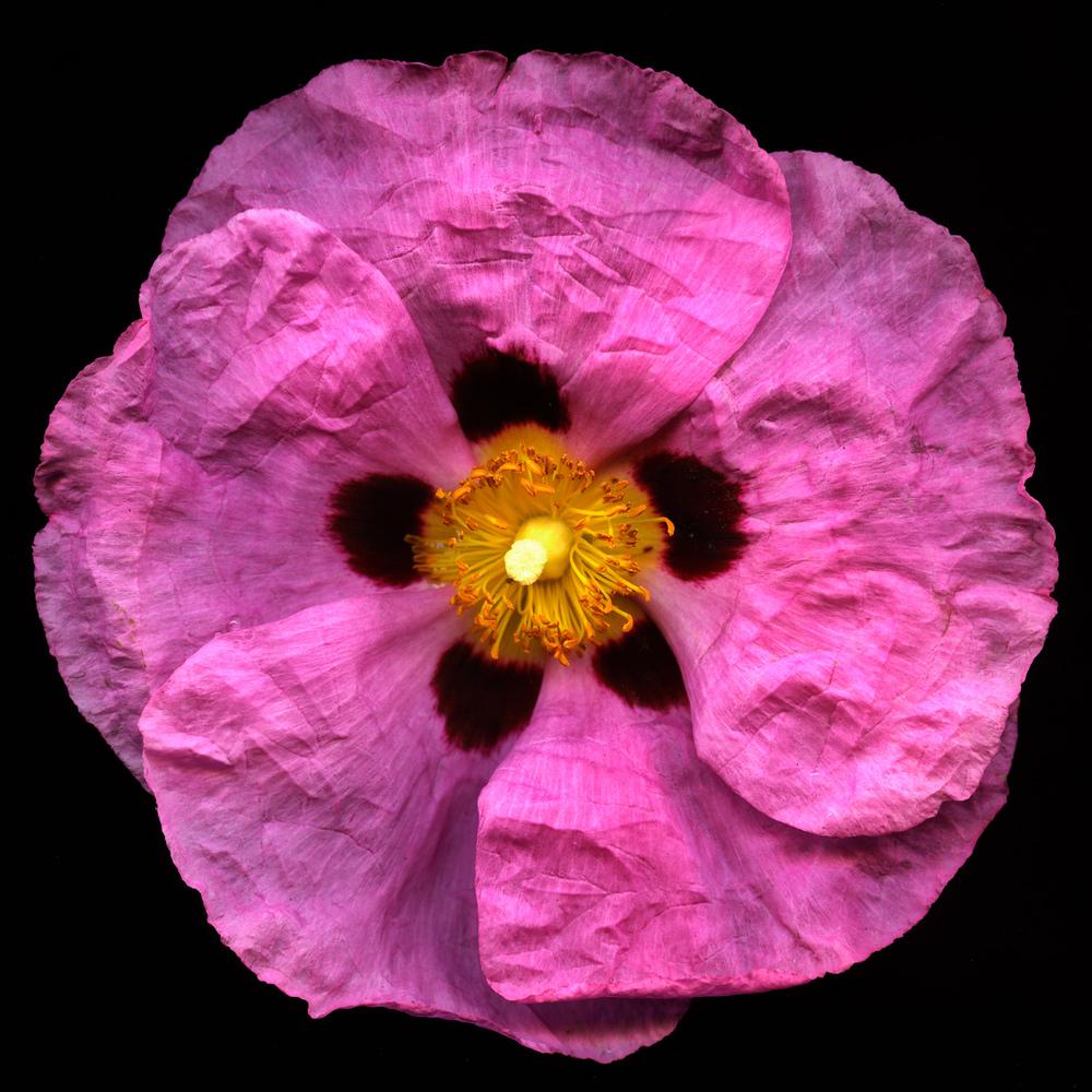 Rock Rose.jpg