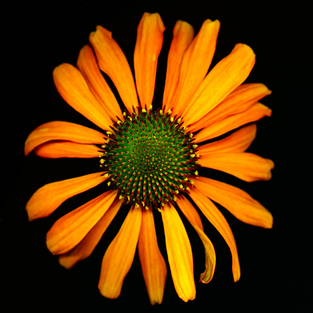 OrangeEchinacea.jpg
