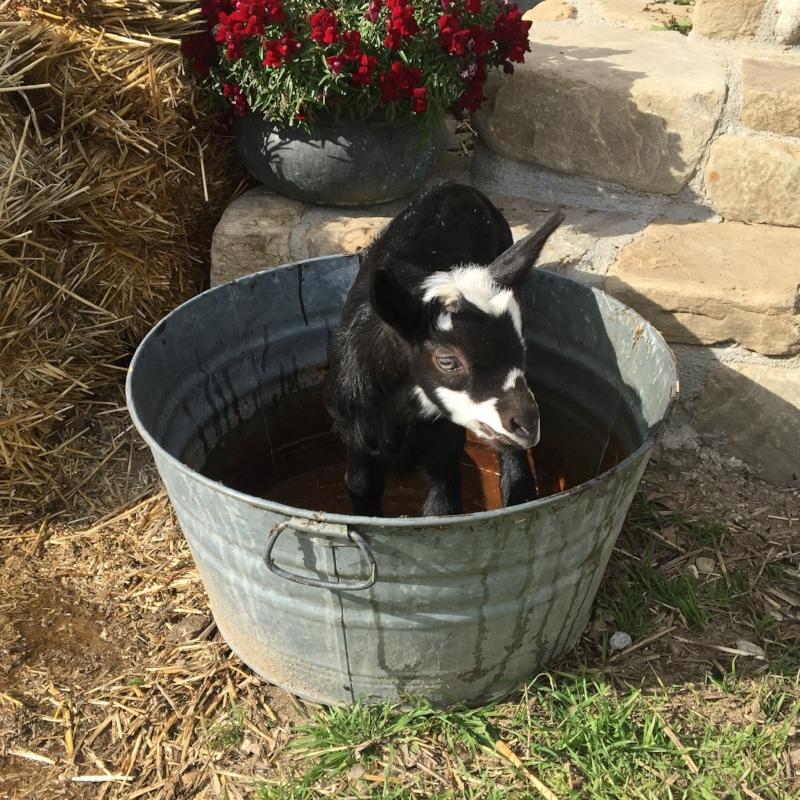 lester goat for sale.jpg