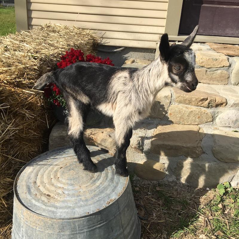 Lenny Goat for Sale.jpg
