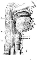 throat.jpg
