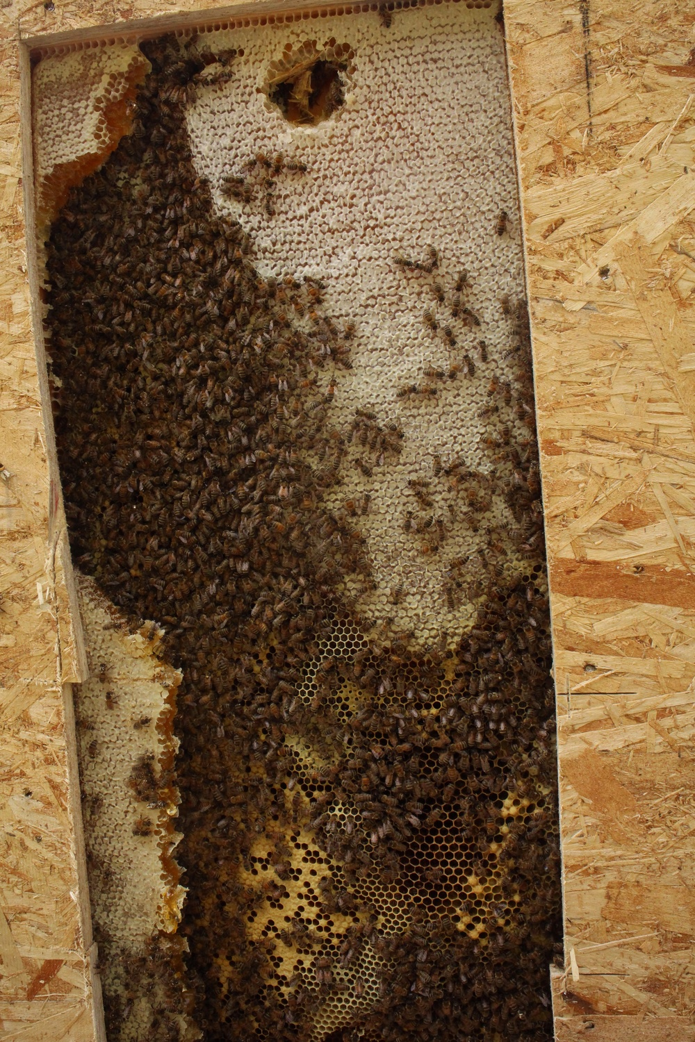 This is really cool.  The bees covering the top left corner and through the center are nurse bees, and beneath them you can see a bit of the worker brood, made of eggs and larvae.  The light yellow cells are capped larvae that are pupating into adult bees.  On the outside edge of the brood comb, on the lower right corner the cells are puffed out, and those are capped drone larvae.  Drones are the  male honeybees.