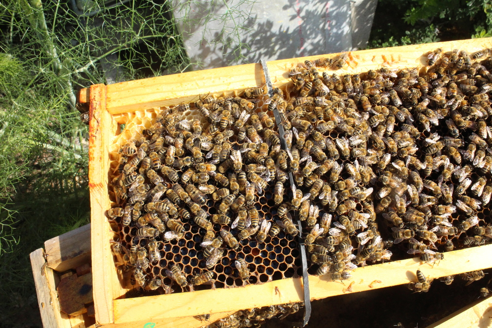 Fast forward example: Bees have attached comb to frame.  Most of the brood survived, and the bees were able to make emergency queen cells from surviving eggs.