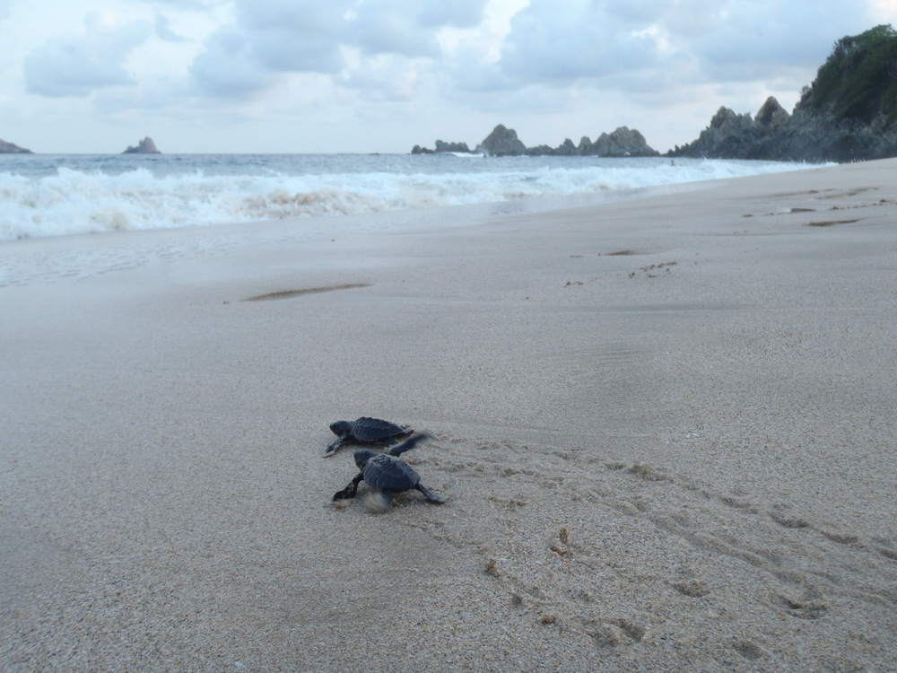 And if you're really really lucky, you might get to free some wild sea turtles to a new life journey in the Pacific.