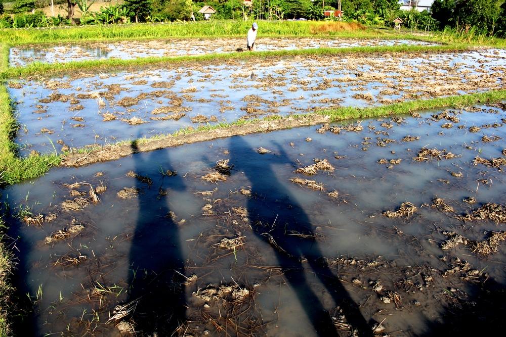 ricepaddys.jpg