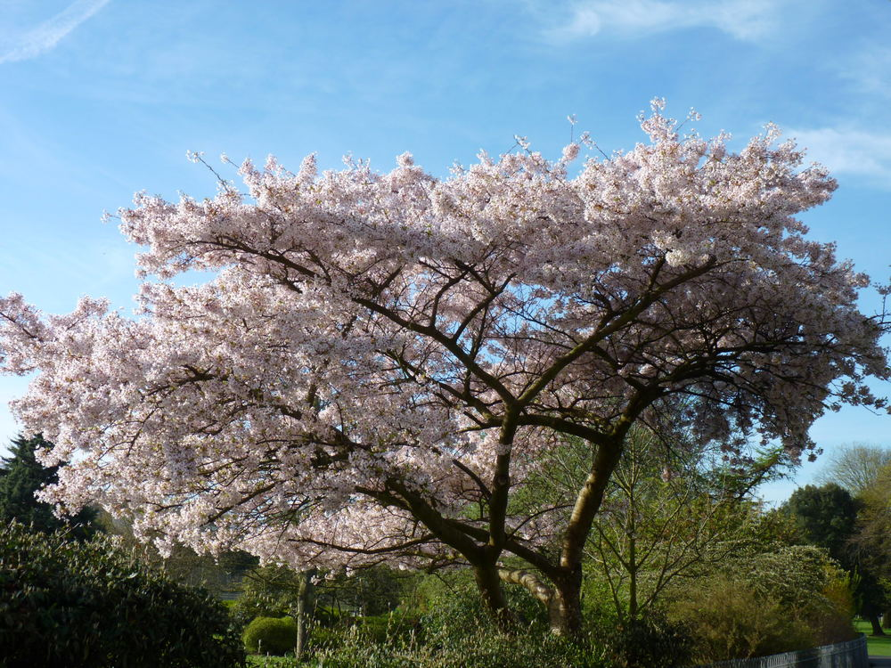 Hove Park in Blossom