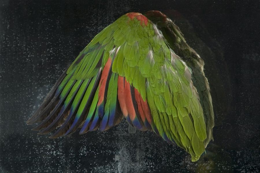 Closeup of Parrot Wing