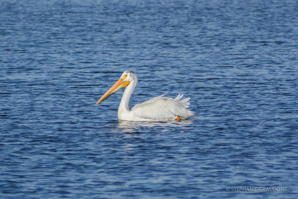 City Park Pelican