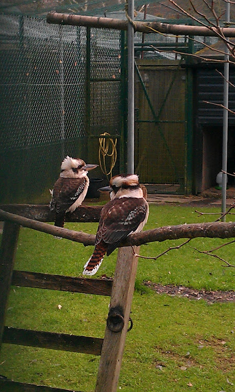 Kookaburras Broing Out