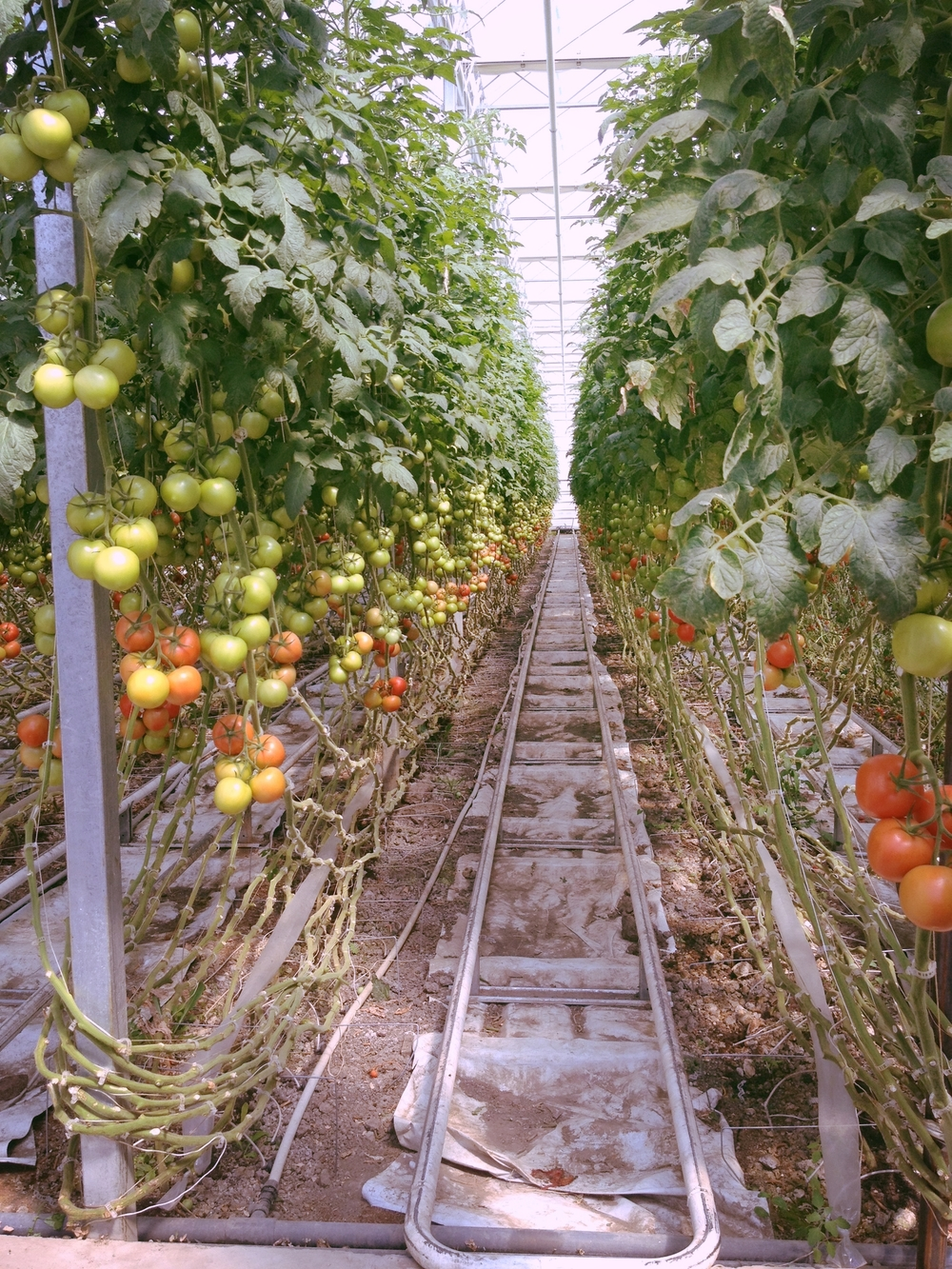 Some of the many tomatoes grown in the greenhouse at Mans Organics