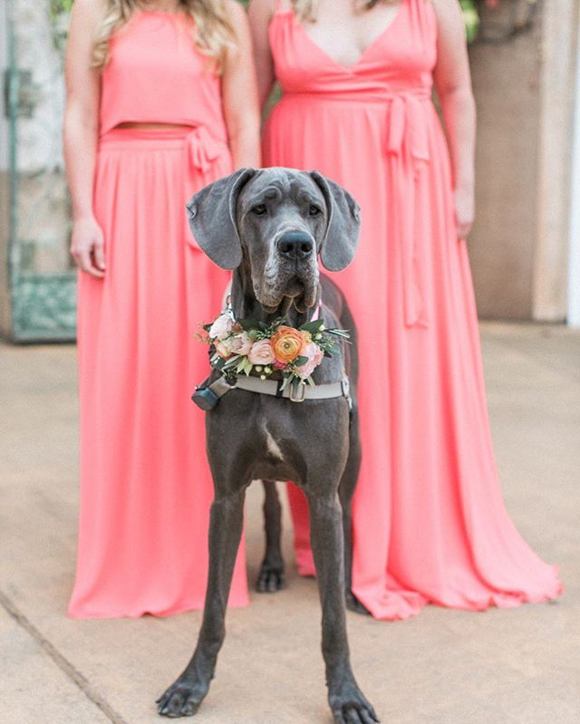 Had to share this cutie one more time! #greatdane #bridalparty #chantelgiongcophotography