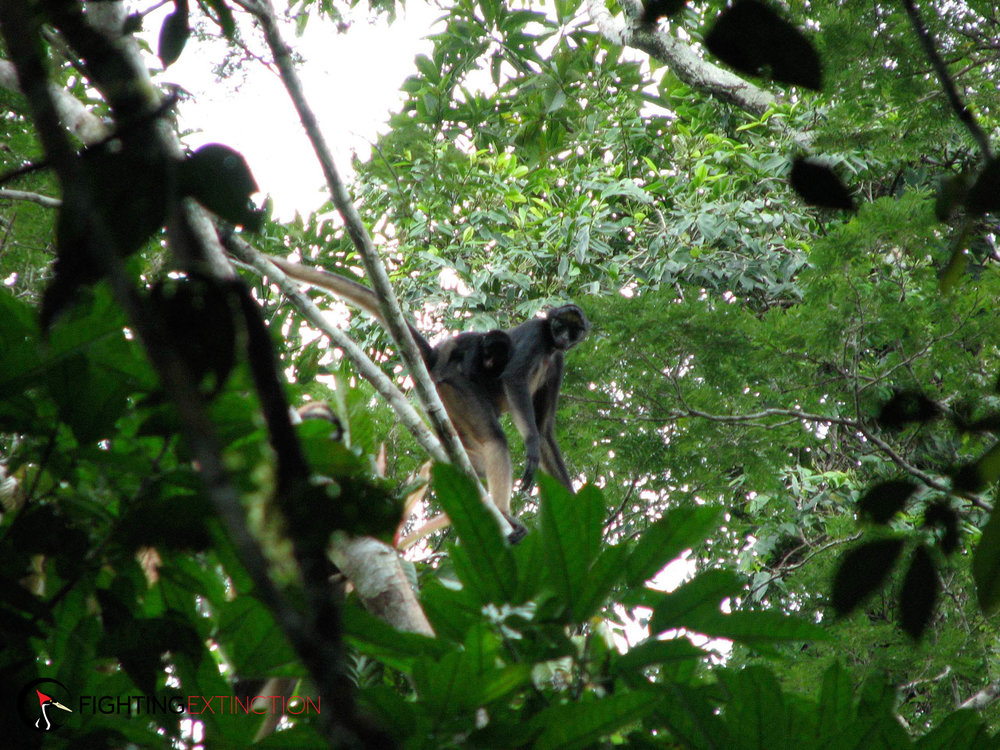 White-bellied spider monkeys are important long-distance seed dispersal agents for many fruit-bearing species.